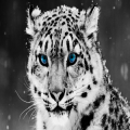 White Tiger HD Wallpaper