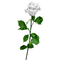 Flower White Rose Sticker