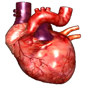 Animated human heart diagram more information animated human heart diagram ccuart Image collections