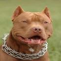 Pitbull Live Wallpaper