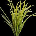 Montana Grasses