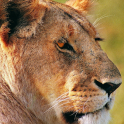 Lioness Themes