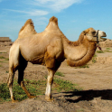 Camels Jigsaw Puzzles