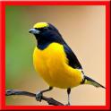 Masteran Kicau Burung 2017