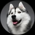 Siberian Husky Dog Sounds