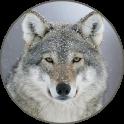 Sons de loups gris