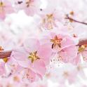 Sakura Live Wallpapers