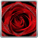 लाल लाइव वॉलपेपर गुलाब