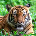 Tiger Live-Wallpaper