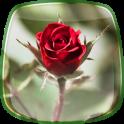 Rosa Papel de Parede
