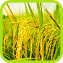 Rice Field Cultivation