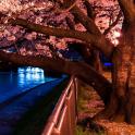 sakura tree wallpaper