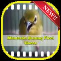 Masteran Burung Pleci Gacor