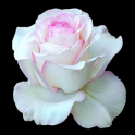 Flower Wallpapers, Rose Wallpapers Live