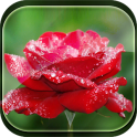 Rose and Rain Live Wallpaper