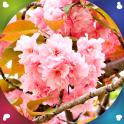fondos pantalla en vivo sakura