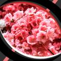 Live Wallpapers – Sakura