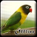Masteran Lovebird Kusumo Offline