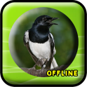 Suara Burung Kacer MP3 Offline