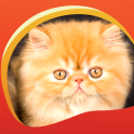 Persian Cats Live Wallpapers