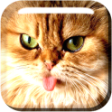 Purebred cats live wallpapers
