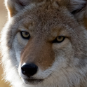 Coyote lwp
