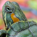 live wallpapers turtles