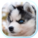 Husky Puppies live wallpaper