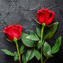 Rose HD Wallpapers