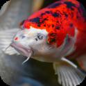 Japanese Koi Fish Wallpaper