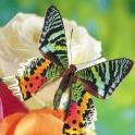 Butterflies Jigsaw Puzzles