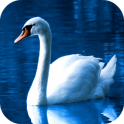 Swan Wallpapers