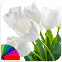 Theme - Tulips