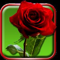 गुलाब वॉलपेपर जीना