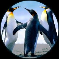 पेंगुइन ध्वनि