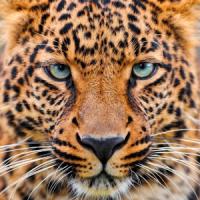 gold leopard wallpaper