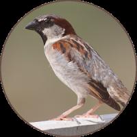Sparrow Bird Sounds