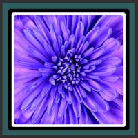 Live Wallpapers Violet Flower