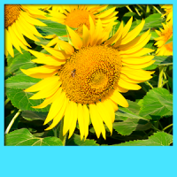 Sunflower Live Wallpapers