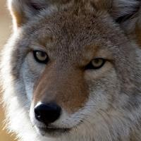 coyote live wallpaper