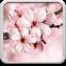 Cherry Blossom Live Wallapper