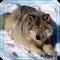Wolf Photo HD live wallpaper