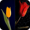 HD Tulip New Wallpaper