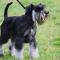 Miniature Schnauzer Dogs Theme